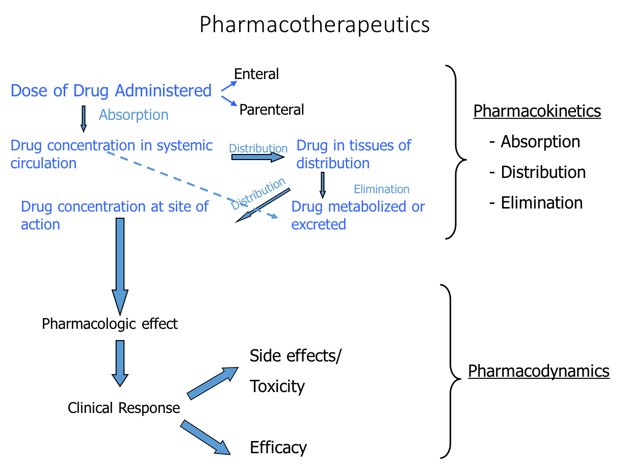 Diagram detailing the processes of pharmacokinetics and pharmacodynamics